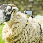Sony enlists sheep for a new view on the Tour…